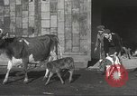 Image of young cows Bristol Pennsylvania USA, 1934, second 15 stock footage video 65675061024