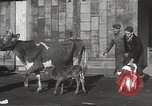 Image of young cows Bristol Pennsylvania USA, 1934, second 16 stock footage video 65675061024