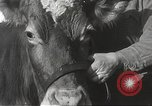 Image of young cows Bristol Pennsylvania USA, 1934, second 17 stock footage video 65675061024