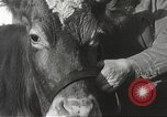 Image of young cows Bristol Pennsylvania USA, 1934, second 18 stock footage video 65675061024