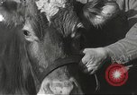 Image of young cows Bristol Pennsylvania USA, 1934, second 19 stock footage video 65675061024