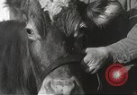 Image of young cows Bristol Pennsylvania USA, 1934, second 20 stock footage video 65675061024