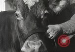 Image of young cows Bristol Pennsylvania USA, 1934, second 21 stock footage video 65675061024