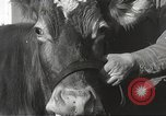 Image of young cows Bristol Pennsylvania USA, 1934, second 22 stock footage video 65675061024