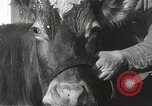 Image of young cows Bristol Pennsylvania USA, 1934, second 23 stock footage video 65675061024