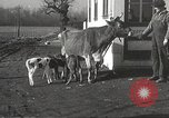 Image of young cows Bristol Pennsylvania USA, 1934, second 24 stock footage video 65675061024