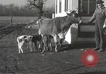Image of young cows Bristol Pennsylvania USA, 1934, second 25 stock footage video 65675061024