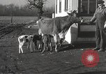 Image of young cows Bristol Pennsylvania USA, 1934, second 26 stock footage video 65675061024