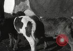 Image of young cows Bristol Pennsylvania USA, 1934, second 27 stock footage video 65675061024