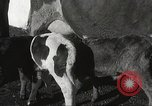 Image of young cows Bristol Pennsylvania USA, 1934, second 28 stock footage video 65675061024