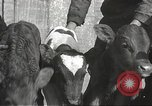 Image of young cows Bristol Pennsylvania USA, 1934, second 37 stock footage video 65675061024