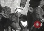 Image of young cows Bristol Pennsylvania USA, 1934, second 38 stock footage video 65675061024