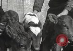 Image of young cows Bristol Pennsylvania USA, 1934, second 39 stock footage video 65675061024