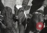 Image of young cows Bristol Pennsylvania USA, 1934, second 40 stock footage video 65675061024