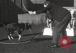 Image of dogs training for stage performance Boston Massachusetts USA, 1934, second 38 stock footage video 65675061028