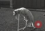 Image of dogs training for stage performance Boston Massachusetts USA, 1934, second 47 stock footage video 65675061028