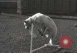 Image of dogs training for stage performance Boston Massachusetts USA, 1934, second 48 stock footage video 65675061028