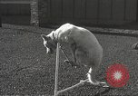 Image of dogs training for stage performance Boston Massachusetts USA, 1934, second 49 stock footage video 65675061028