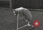 Image of dogs training for stage performance Boston Massachusetts USA, 1934, second 50 stock footage video 65675061028