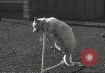 Image of dogs training for stage performance Boston Massachusetts USA, 1934, second 51 stock footage video 65675061028