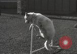 Image of dogs training for stage performance Boston Massachusetts USA, 1934, second 52 stock footage video 65675061028