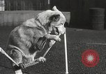Image of dogs training for stage performance Boston Massachusetts USA, 1934, second 55 stock footage video 65675061028