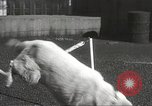 Image of dogs training for stage performance Boston Massachusetts USA, 1934, second 56 stock footage video 65675061028