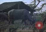 Image of water buffaloes Vietnam, 1966, second 11 stock footage video 65675062003