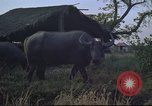 Image of water buffaloes Vietnam, 1966, second 17 stock footage video 65675062003