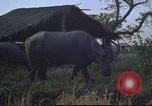 Image of water buffaloes Vietnam, 1966, second 18 stock footage video 65675062003