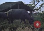 Image of water buffaloes Vietnam, 1966, second 19 stock footage video 65675062003