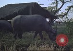 Image of water buffaloes Vietnam, 1966, second 20 stock footage video 65675062003
