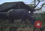 Image of water buffaloes Vietnam, 1966, second 21 stock footage video 65675062003
