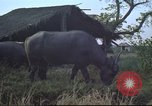 Image of water buffaloes Vietnam, 1966, second 22 stock footage video 65675062003