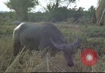 Image of water buffaloes Vietnam, 1966, second 23 stock footage video 65675062003