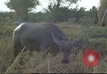 Image of water buffaloes Vietnam, 1966, second 24 stock footage video 65675062003