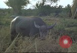 Image of water buffaloes Vietnam, 1966, second 25 stock footage video 65675062003