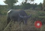 Image of water buffaloes Vietnam, 1966, second 26 stock footage video 65675062003