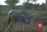 Image of water buffaloes Vietnam, 1966, second 28 stock footage video 65675062003