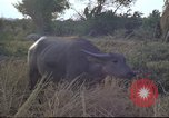 Image of water buffaloes Vietnam, 1966, second 29 stock footage video 65675062003
