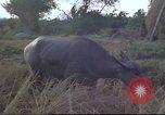 Image of water buffaloes Vietnam, 1966, second 30 stock footage video 65675062003