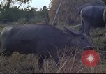 Image of water buffaloes Vietnam, 1966, second 34 stock footage video 65675062003