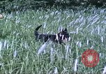 Image of scout dogs Vietnam, 1966, second 26 stock footage video 65675062005