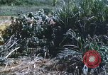 Image of scout dogs Vietnam, 1966, second 44 stock footage video 65675062005