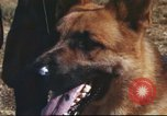 Image of sentry dogs South Vietnam, 1967, second 29 stock footage video 65675062006