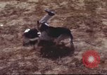 Image of sentry dogs South Vietnam, 1967, second 18 stock footage video 65675062007