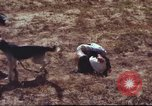 Image of sentry dogs South Vietnam, 1967, second 23 stock footage video 65675062007