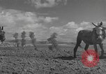 Image of Farmers plowing fields with wooden plows and horses Spain, 1937, second 21 stock footage video 65675062079