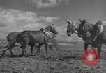 Image of Farmers plowing fields with wooden plows and horses Spain, 1937, second 23 stock footage video 65675062079