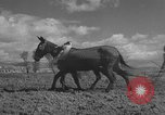 Image of Farmers plowing fields with wooden plows and horses Spain, 1937, second 34 stock footage video 65675062079